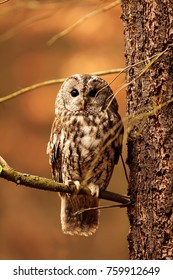 tawny owl is sitting on the dry branch with nice backround