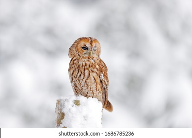 Tawny Owl snow during winter, snowy forest in background, nature habitat. Wildlife scene from cold winter. Winter forest with owl.