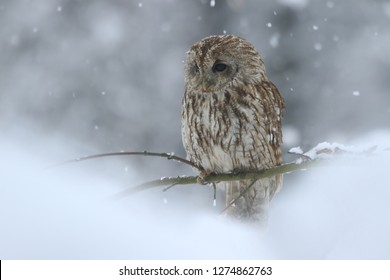tawny owl in snow, winter scene with owl, attractive owl portrait in snow fall. Strix aluco
