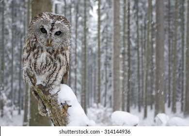 Tawny Owl in snowfall during winter, snowy forest in background, nature habitat in the wood.