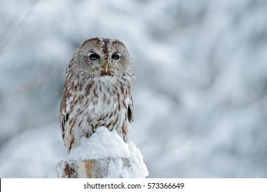 Tawny Owl in snowfall during winter, snowy forest in background, nature habitat. Wildlife scene from Slovakia.