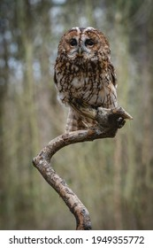 Tawny Owl (Strix aluco) European nocturnal brown night owl famous for it's Twit Twoo calling