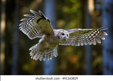 Tawny Owl, Strix aluco in first flight.  European small owl, juvenile bird just after leaving the nest,realy first flight in spruce forest. Juvenile plumage, outstretched wings, wildlife photography.