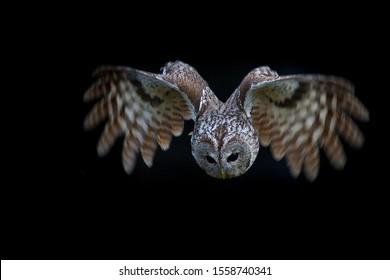 Tawny owl (Strix aluco) in flight at night