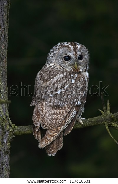 Tawny owl (Strix aluco) hidden in the forest, sitting on tree trunk in the dark forest habitat