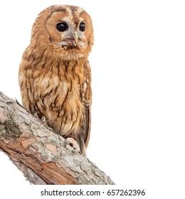Tawny owl (Strix aluco) isolated on white background
