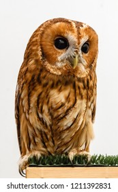Tawny owl. Strix aluco. Night raptor bird.