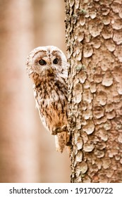 Tawny Owl or Strix aluco on the tree
