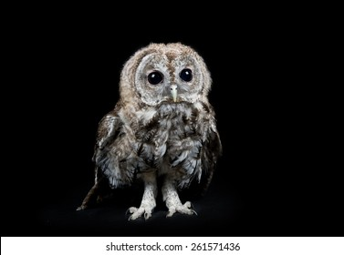 Tawny owl studio portrait