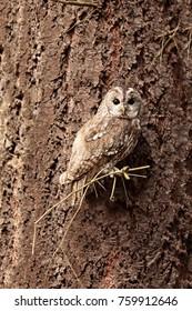 tawny owl very nice camouflage on the tree like bark