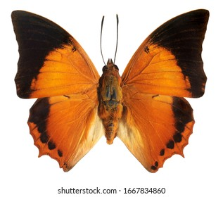 Tawny Rajah, Chataxes bernadus, butterfly isolated on white background.