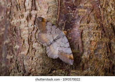 Tawny-barred Angle (Macaria liturata) moth sitting on tree bark