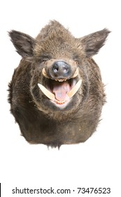 """Taxidermied head of a taxidermied head of a """"Sus Scrofa"""" or wild boar isolated on a white background"""