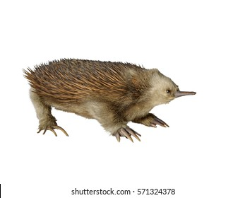 Taxidermy echidna isolated on white background