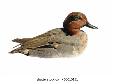 taxidermy green-winged teal (anas crecca) isolated on white