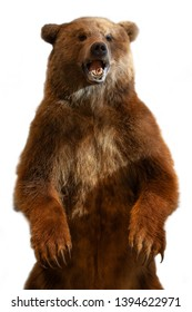 Taxidermy of a Kamchatka brown bear on white background