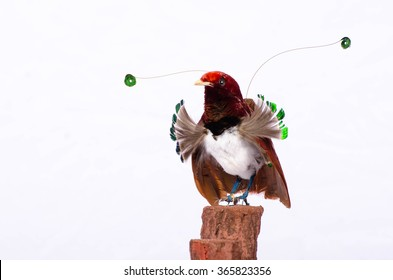 Taxidermy King Bird of Paradise On White Background