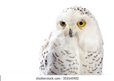 Taxidermy Snowy Owl On White Background