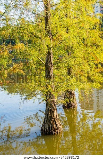 Taxodium ascendens, also known as pond cypress, a deciduous conifer of the genus Taxodium, native to North America, planted in Shenzhen, China.