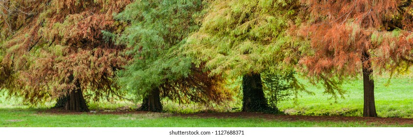 Taxodium distichum, bald cypress, southern-cypress, white-cypress, tidewater red-cypress, Gulf-cypress, red-cypress, or swamp cypress, deciduous conifer trees in autumn,