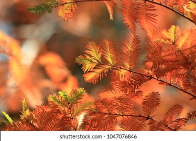 Taxodium distichum is a deciduous conifer in the family Cupressaceae that grows on saturated and seasonally inundated soils in the lowlands of the Southeastern and Gulf Coastal Plains of the USA
