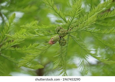 Taxodium distichum fruit in early summer