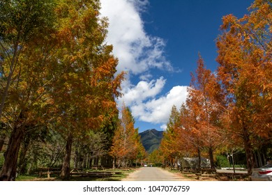 Taxodium distichum landscape in Wuling Farm, Heping District, Taichung, Taiwan.