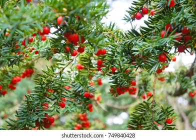 Taxus baccata or english yew or european yew green branches with red berry