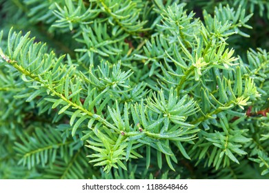 Taxus baccata evergreen branches of conifer. Relict tree