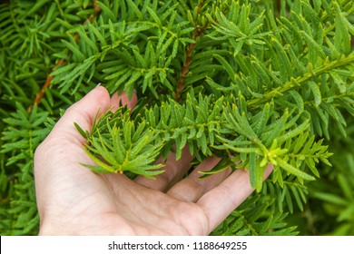 Taxus baccata in the hand. Evergreen branches of conifer. Relict tree