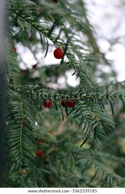 Taxus baccata with red fruit
