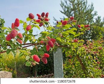 Tayberrys, Rubus fruticosus x idaeus, in the garden