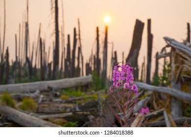 Taylor Lake Area, Pacific Crest Trail, OR - 8/15/2018. In 2017 Oregon experienced a total of 1,069 reported wildfires. Summer, 2018, fireweeds started blooming at these burned forests along the PCT.