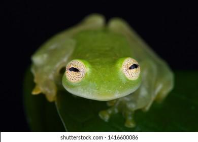 Taylor's glassfrog (Hyalinobatrachium taylori) is an amazing amphibian species.