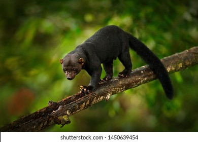 Tayra, Eira barbara, omnivorous animal from the weasel family. Tayra hidden in tropic forest, sitting on the green tree. Wildlife scene from nature, Mexico nature. Cute danger mammal in habitat.