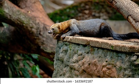 Tayra of the species Eira barbara in a Brazilian zoo