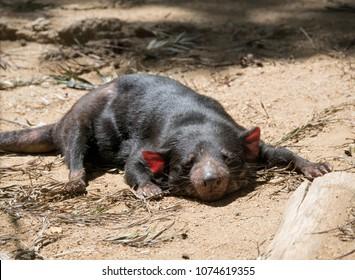 Tazmanian devil asleep in the dirt