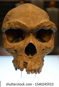 TBILISSI  GEORGIA 09 08 19:Homo heidelbergensis is an extinct species or subspecies of archaic humans in the genus Homo which radiated in the Middle Pleistocene from about 700,000 to 300,000 years ago