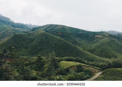 Tea Boh Plantation