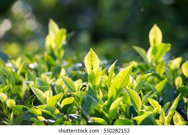Tea bushes brighten in the morning sunlight