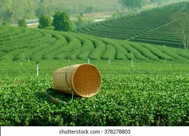 Tea cart on tea farm.
