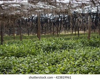 tea cultivation in Malawi