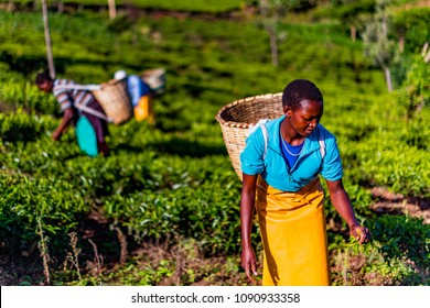 Tea Estate Nandi Hills, Western Kenya highlands, May 13, 2018: African woman harvesting high quality tender green tea leaves and flushes by hand. Labor intensive agriculture. Green tea.