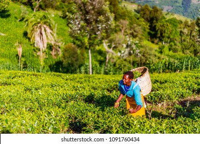 Tea Estate Nandi Hills, Western Kenya highlands, May 13, 2018: African woman cheerfully harvesting high quality tender green tea leaves and flushes by hand. Labor intensive agriculture. Green tea.