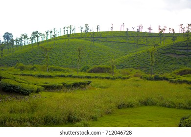 Tea estate Natural scene