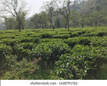 Tea estate organic farming Lahu hill tribes plucker select tippy unopened bud tealeaves in the sunset misty high mountain