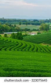 Tea farm blue sky