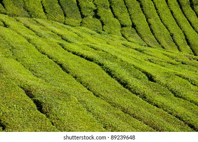 Tea farm in Cameron highland