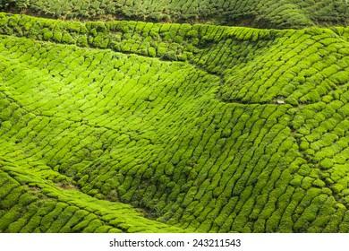 Tea farm at Cameron Highland Malaysia.