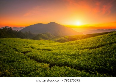 Tea farm in Cameron Highland on the hill with morning sunrise in Malaysia